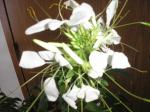 white Cleome