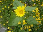 """Heliopsis-""""Summer Sun"""""""