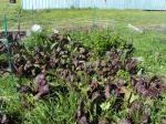Red Mustard leaf, and celery behind still growing