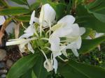 white butterfly ginger