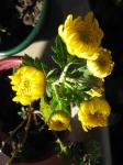 Mums - Yellow (almost)