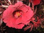 Red leaf Hibiscus