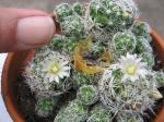Thimble Cactus-Flowers