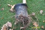 Plumeria roots