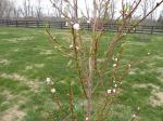 And this is the same peach tree exposed with blooms waiting for cold bees.