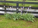 Some of my girlfriends Purple Iris