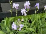 Sweet and Fresh fragrance from our iris