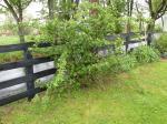 Large Thornless Blackberry bush