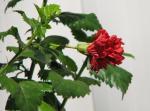 Hibiscus rosa-sinensis - double