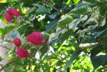 Bougainvillea - dwarf variegated