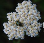 Wild Yarrow with visitor