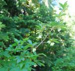 Cascade azalea