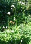 Wild Columbine and Valerian