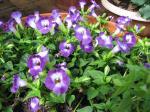 Torenia hybrid 'Violet Magic'
