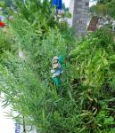 French Tarragon, with basil and rosmary in background