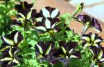 Bumble Bee Petunias