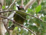 Figbird