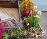 snapdragons, petunias, pansies and mums