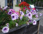 more petunias, geraniums, mums