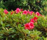 second bloom on my Elizabeth rhody