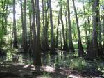 Moody Forest - Bald Cypress