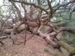 A Crazy Live Oak