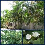 Driveway Garden Beds and white Bauhinia tree