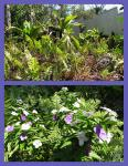 Ferns and Brunfelsia
