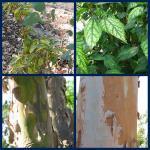 Sick shrubs and peeling bark