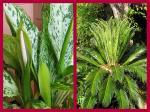 Diffenbachia blooms and a 'break' on a Cycas revoluta