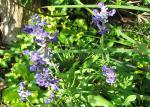 Salvia farinacea 'Victoria Blue'