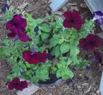Petunias getting darker in cool weather