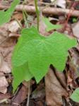 moonseed vine