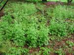 Garlic Mustard before