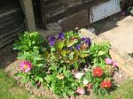 petunia, dahlia, photinia