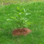 Baby Yellow Magnoila Tree