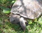 Our favorite gopher tortoise is back this year!!