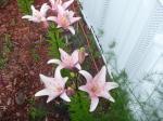 Pink Ladies in the Garden
