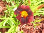 Night Embers Lily