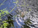 frog laying ontop of the water