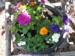 impatiens,petunia,marigolds