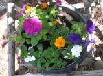 impatiens,petunia,marigolds