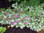 Spotted Deadnettle - or pretty flowers