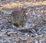 Young Jackrabbit came to have tea with me Wed morning