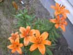 orange tiger lilly