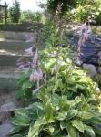 Hosta's in bloom
