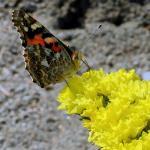 Limonium sinuatum 'Gold Yellow'