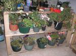 geranium shelves
